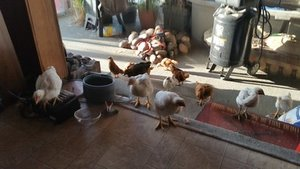 bc643-rachelvonfleck-reelcamogirl-chickens-in-the-house