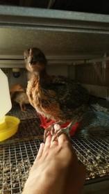 c253f-rachelvonfleck-reelcamogirl-sexlink-chicken